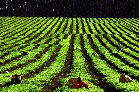 plantatie ceai verde
