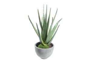 Plante pe care nu le poti omori - aloe vera
