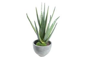 Plante pentru baie: Aloe Vera