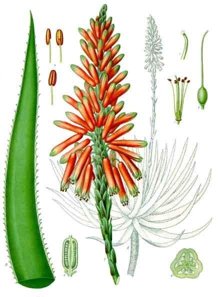Plante medicinale : aloe vera