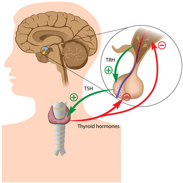 anatomie tiroida analize medicale ecografie tiroidiana