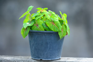 Plante pentru baie: caladium