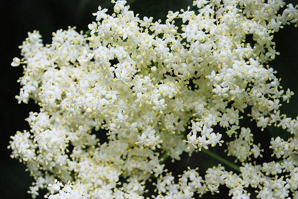flori de soc beneficii