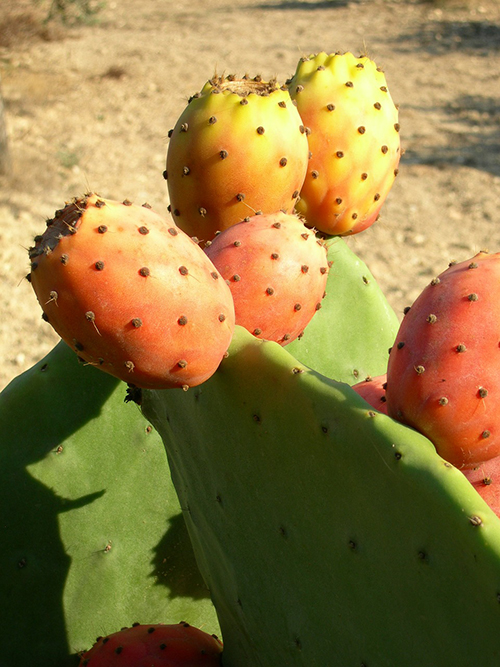 Fructul de cactus sau MEDICAMENTUL cu tepi: beneficii in ...