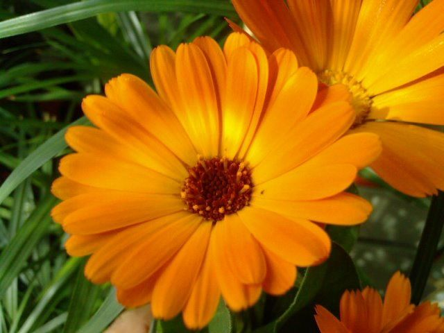 Plante medicinale: Galbenele