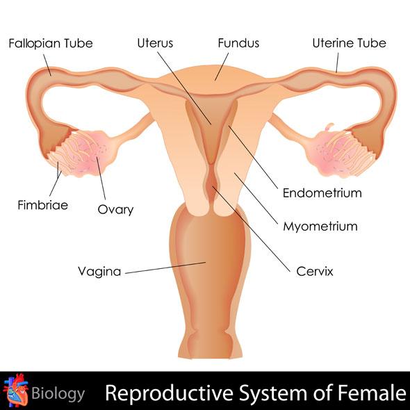 rana pe col - schema aparat genital feminin