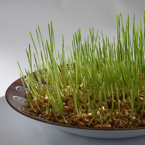 grâu încolțit pentru vedere
