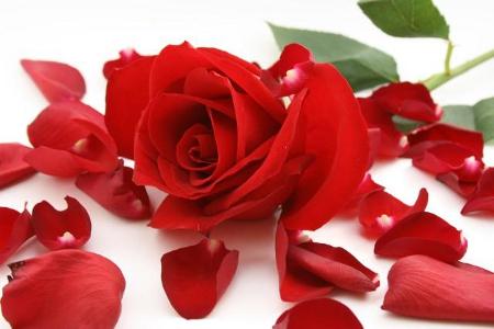 Horoscop floral: Zodia Trandafir