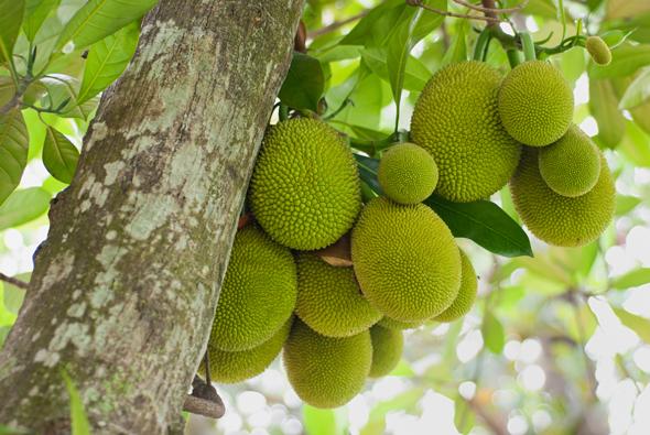 beneficiile fructului Jack sau Jaca