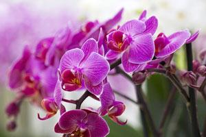 Plante pentru baie: orhidee