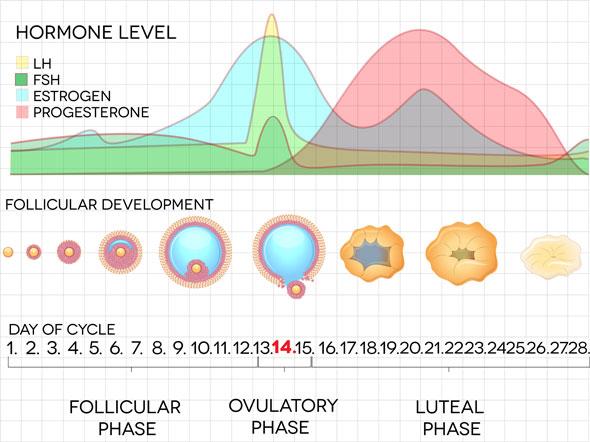 achema hormonilor in ciclul menstrual