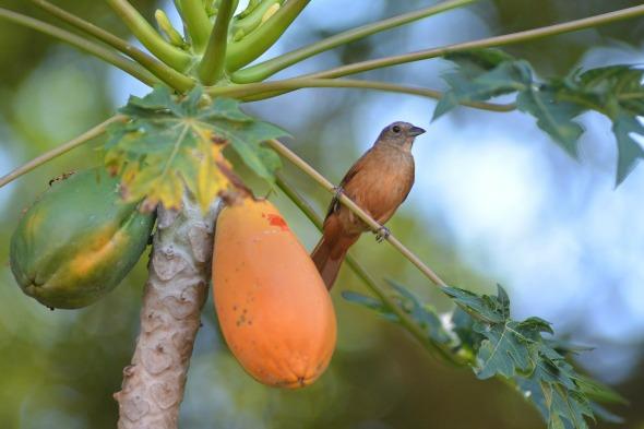 beneficii papaya