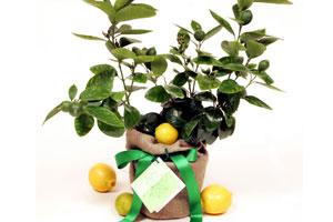 Plante Feng Shui 2
