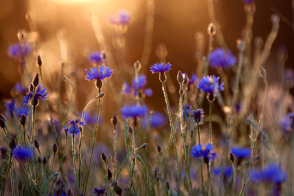 plante-medicinale-beneficii-albastrele.jpg