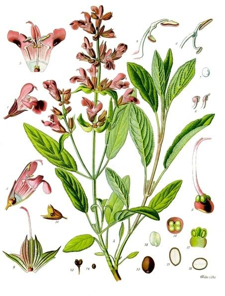 Plante medicinale : salvie
