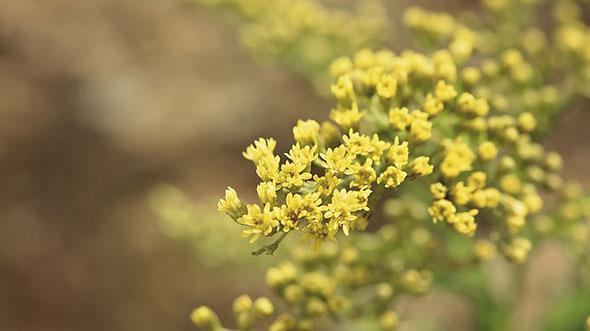 sanziene-de-vara-flori-galbene-beneficii.jpg
