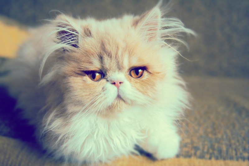 nume pisici
