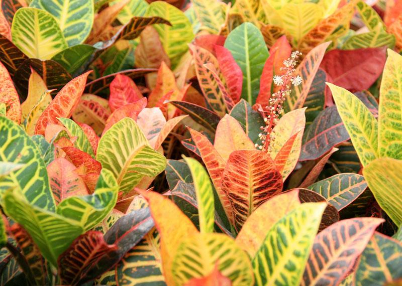 Plante de interior cu efecte toxice for Plante de interior