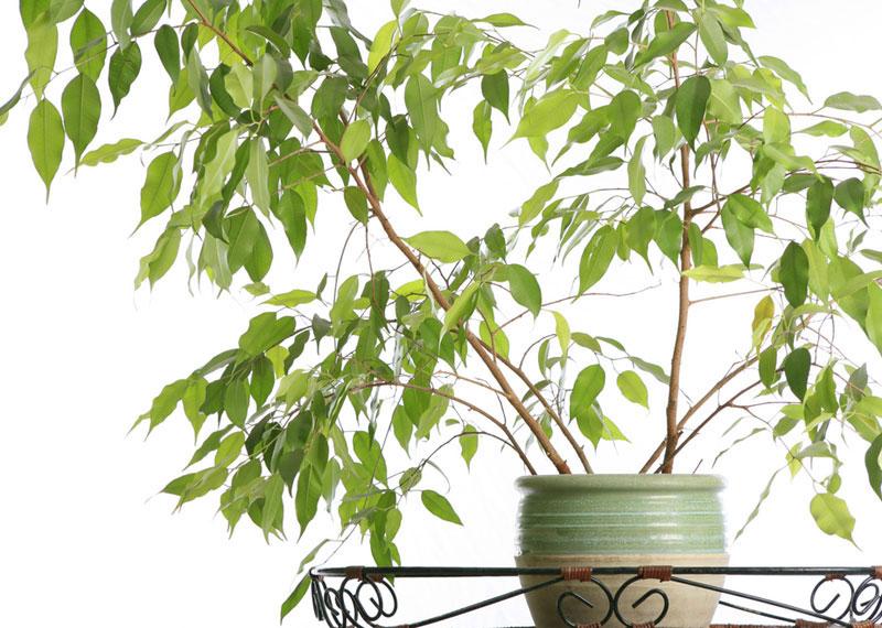 Ficus ficus benjamina plante de interior decorative for Plante decorative