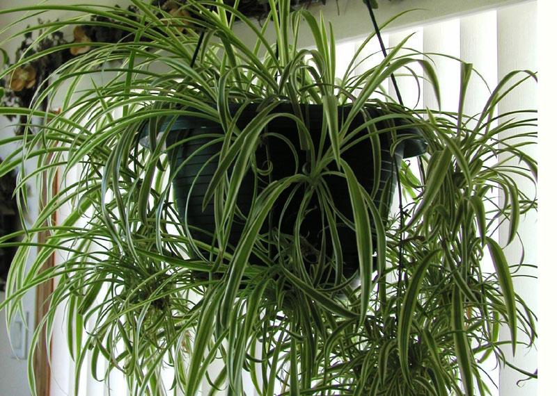 Crin verde voalul miresei chlorophytum comosum plante for Plante decorative