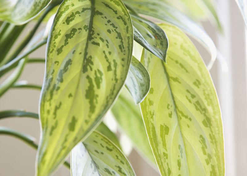Plante De Interior Decorative Prin Frunze