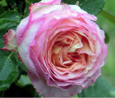 Special T Si >> 20 de imagini cu trandafiri