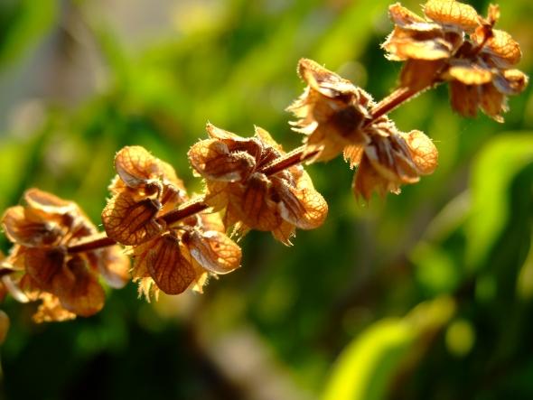 9 Condimente romanesti cu proprietati terapeutice - Busuiocul – beneficii si proprietati terapeutice - Slide 2 din 9