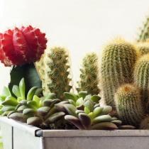 Cactusul, planta de interior nepretentioasa