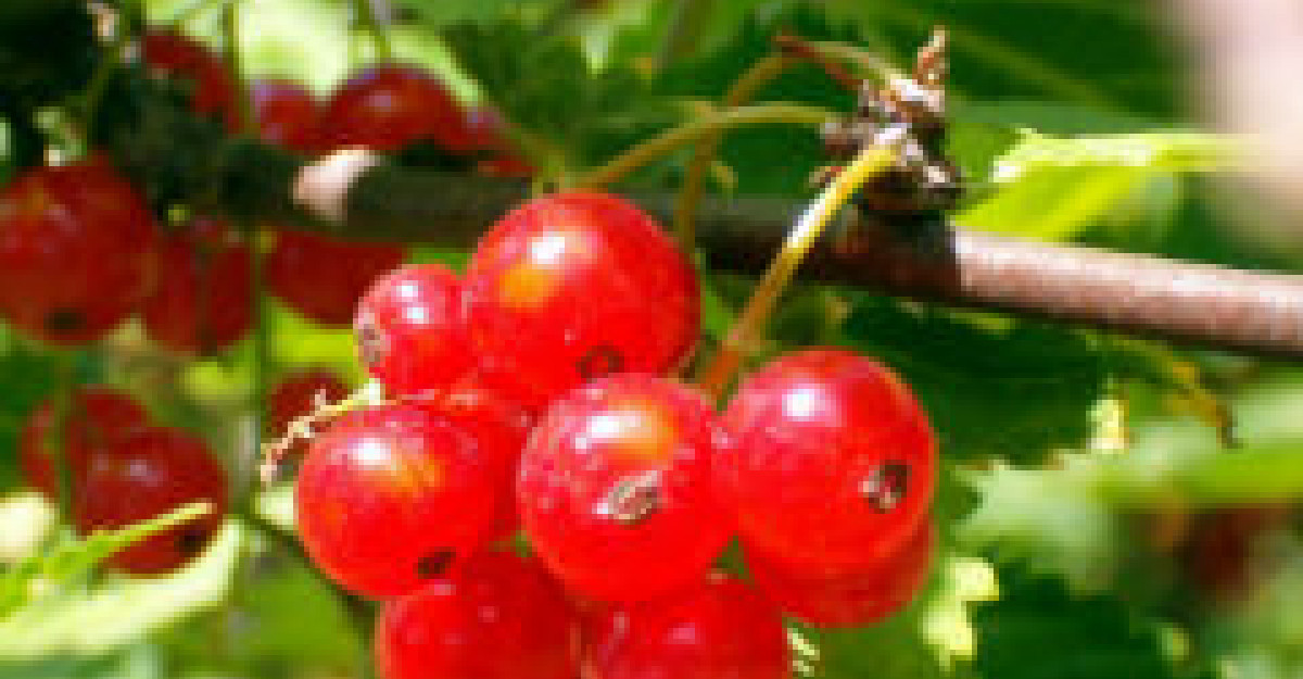 Fructele de merisor, fructele cu proprietati terapeutice imbatabile