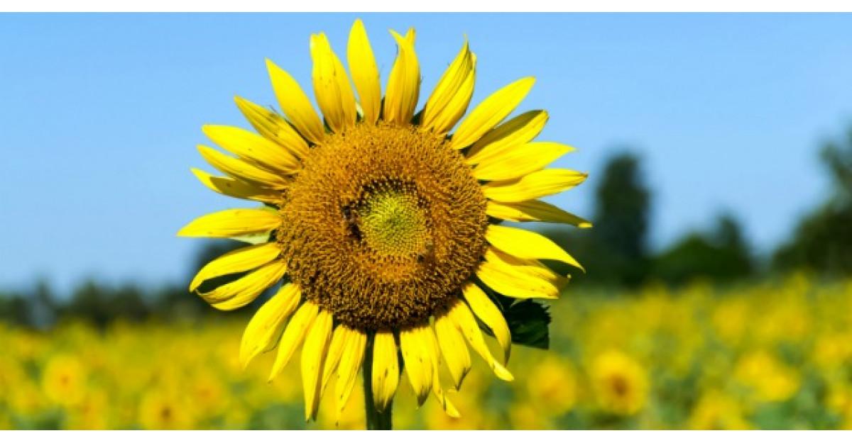 Stiai ca poti face ceai din frunze si petale de floarea-soarelui? Beneficiile sunt incredibile!