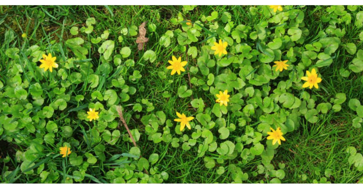 Untisorul sau salatica, planta bogata in vitamina C care creste nivelul de energie