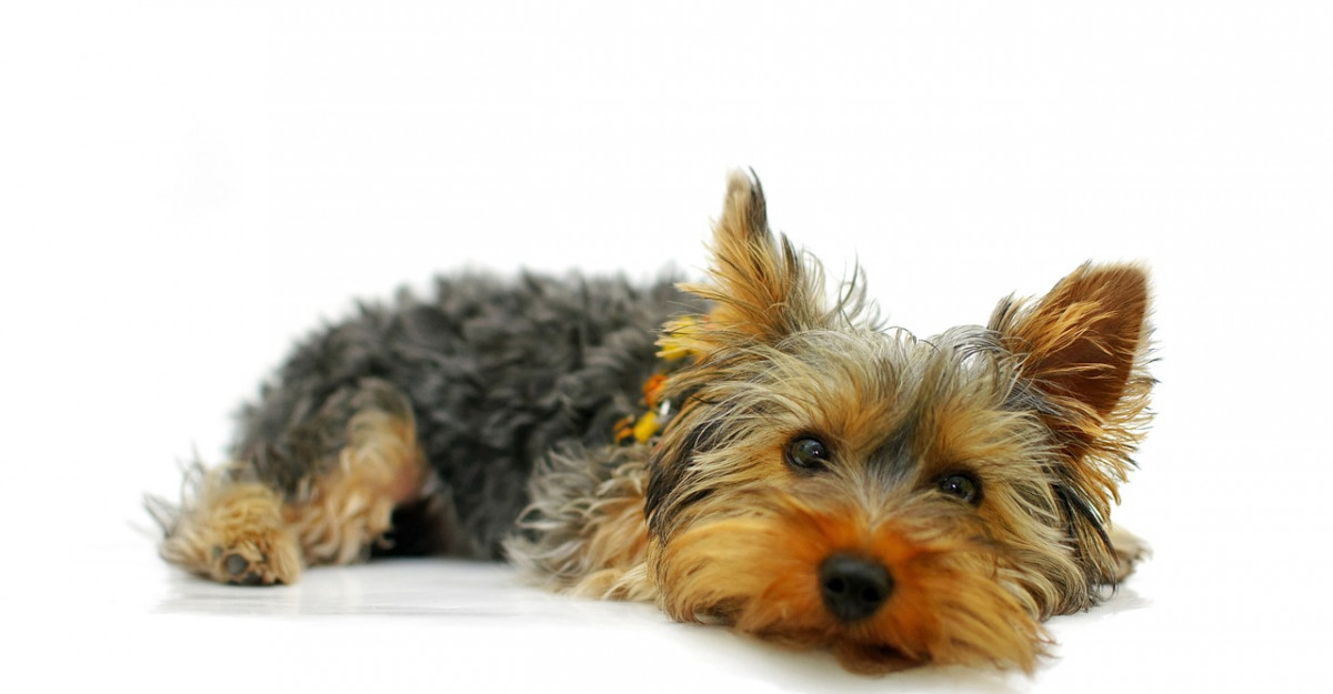 6 Lectii de viata de la un Yorkshire Terrier