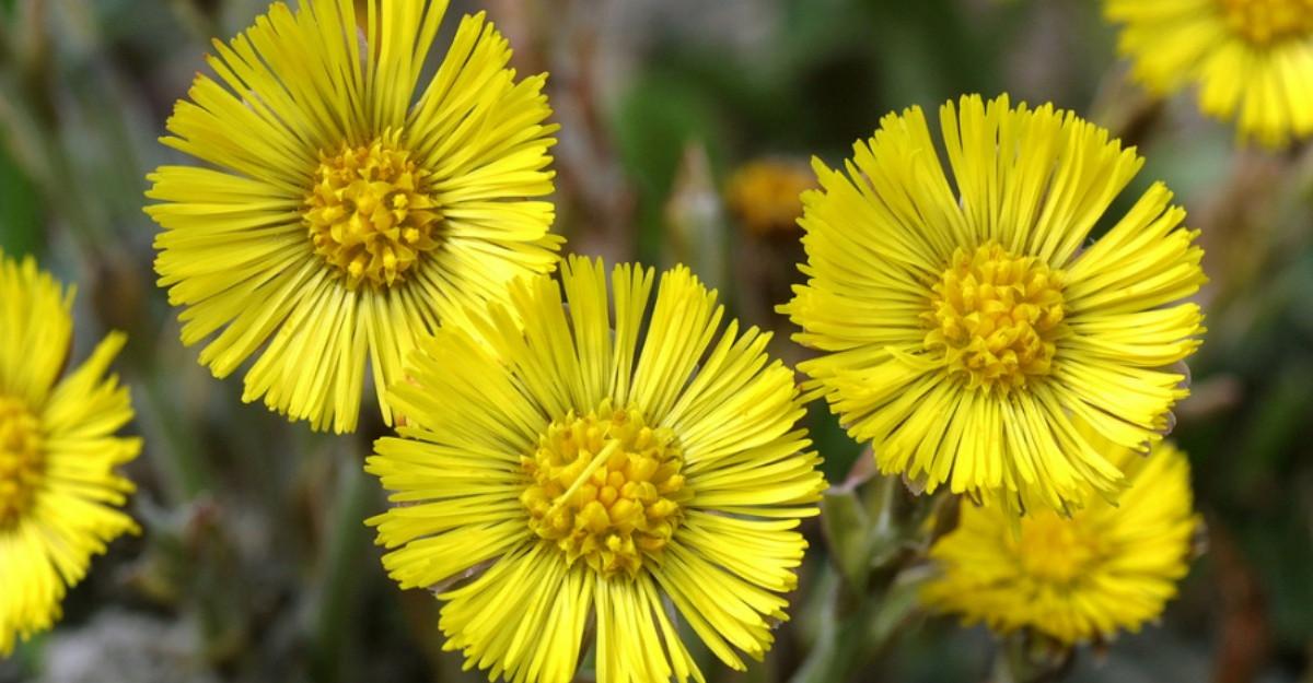 Aceste flori galbene ale primaverii au efecte uimitoare asupra sanatatii