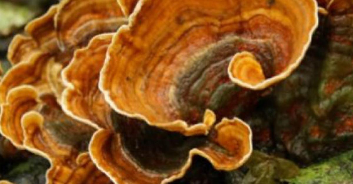Ciuperca Coada de curcan - Un medicament natural EXTRAORDINAR!