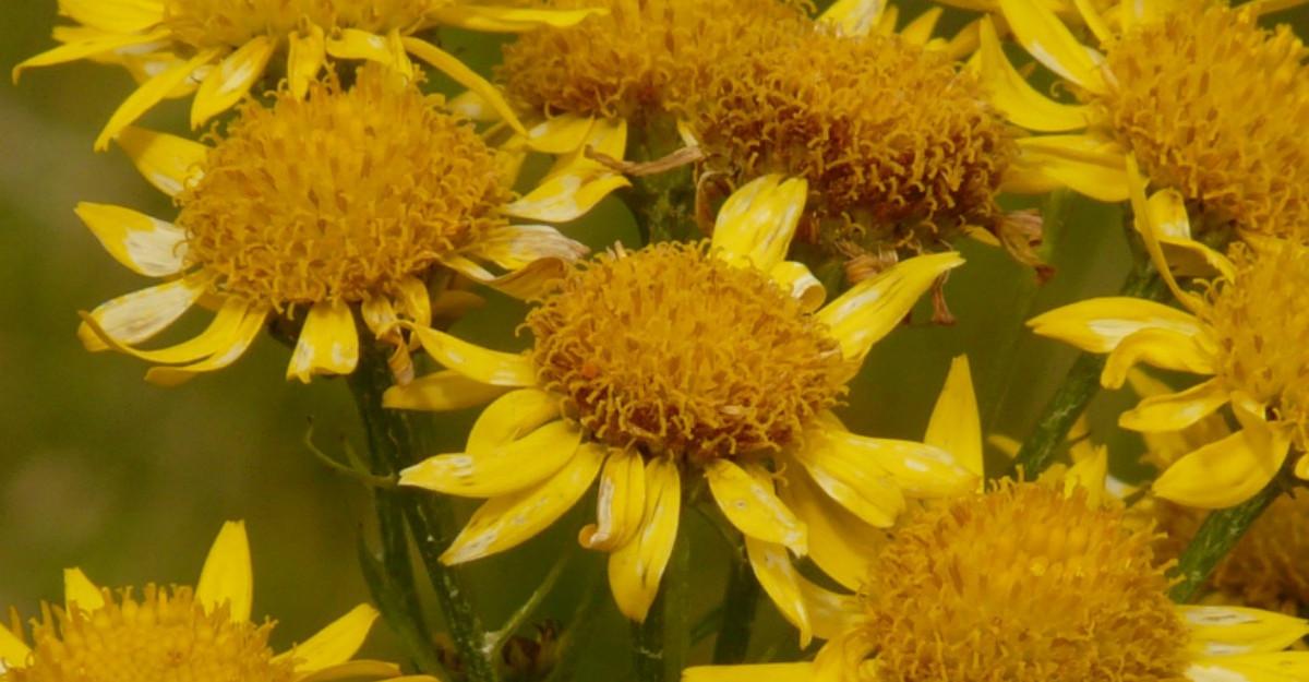 Arnica, o plantă minune pentru organism