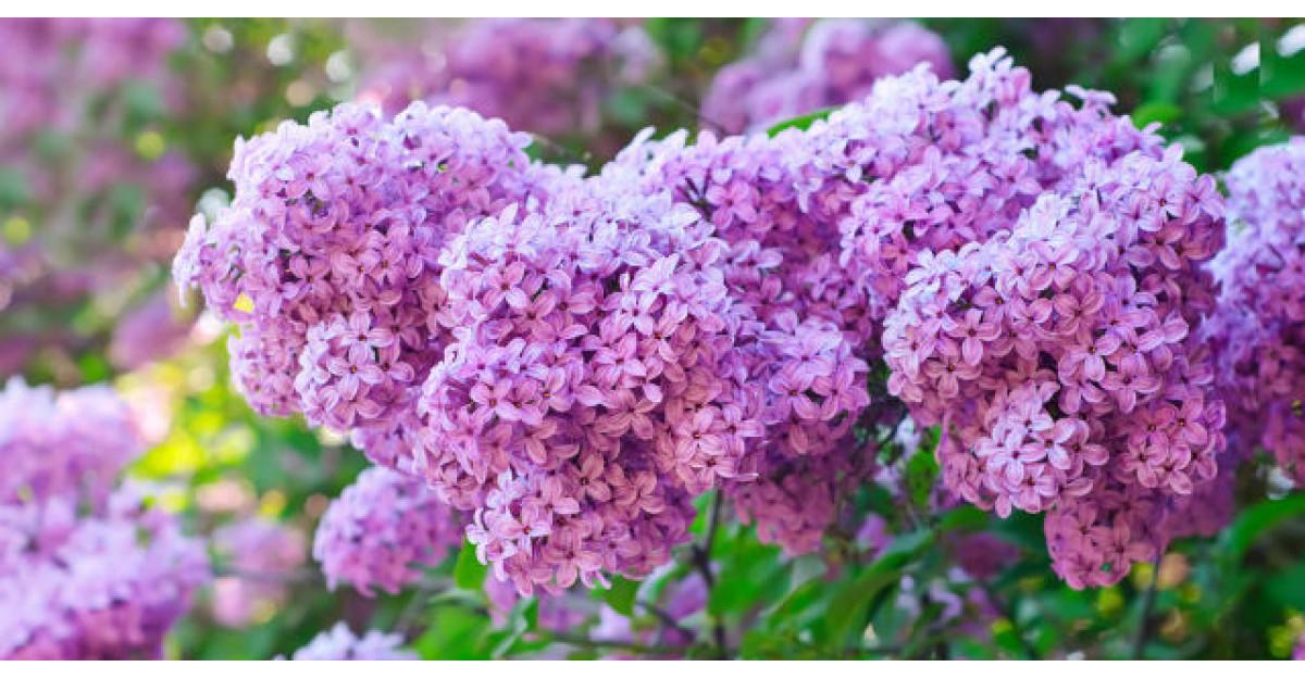 Proprietati miraculoase ale florilor de liliac. Putini stiu asta