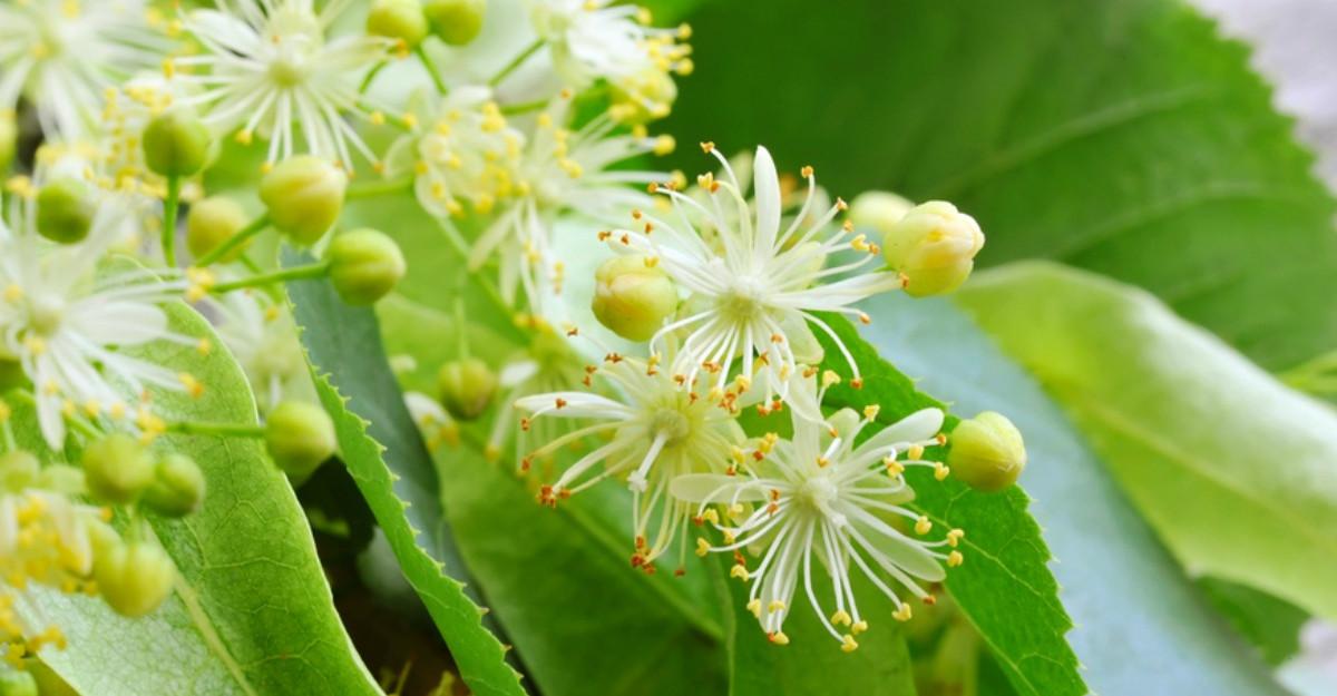 Care este cel mai bun moment pentru culegerea florilor de tei. Cum să le consumi corect?