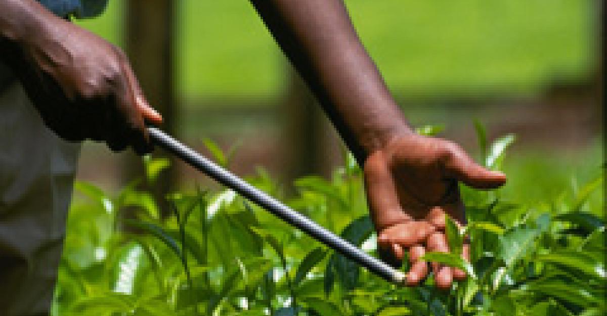 Ceaiul verde - istorie, compozitie si beneficii