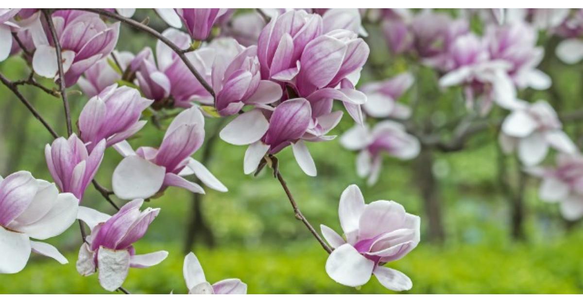 Este foarte frumoasa, dar are si proprietati vindecatoare. Sigur nu stiai asta despre magnolie!