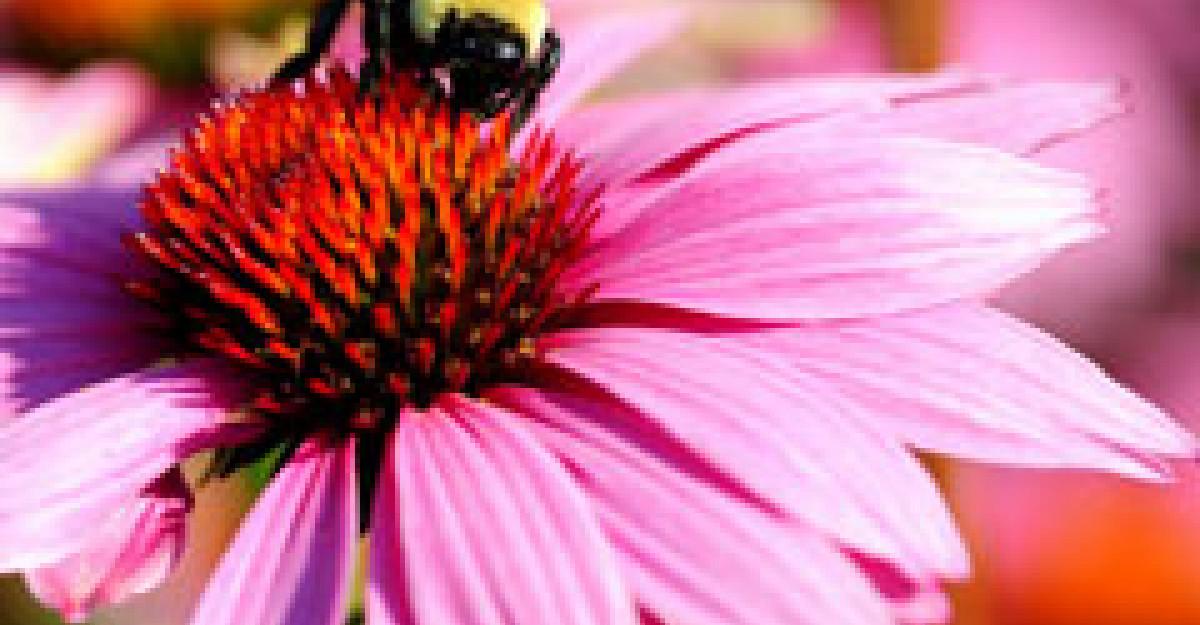 Echinaceea si propolis - Remedii naturiste contra gripei