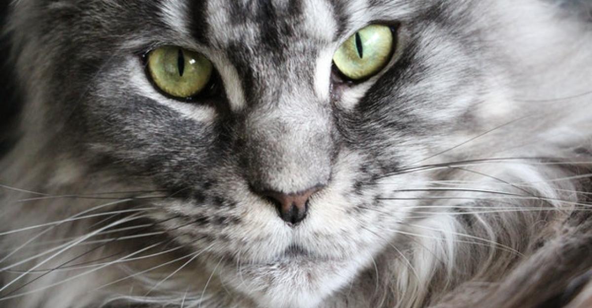 Cele mai mari rase de pisici din lume