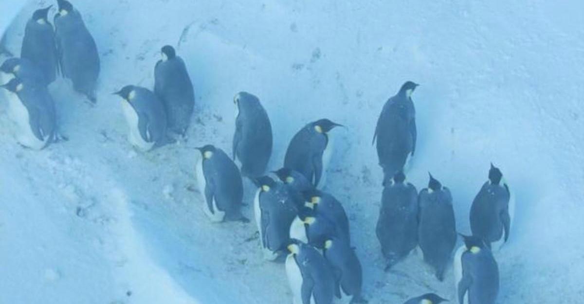Cameramanii de la BBC Wildlife au intervenit pentru a salva zeci de pinguini dintr-o râpă