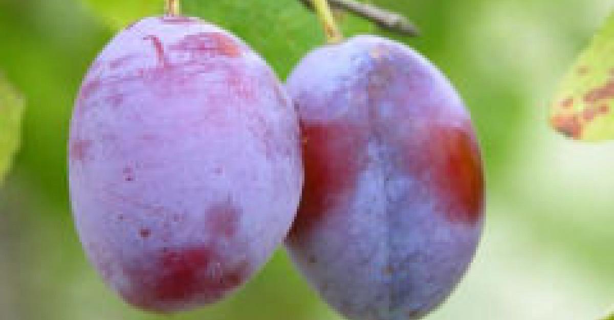 Prunele � fructele curative ale toamnei