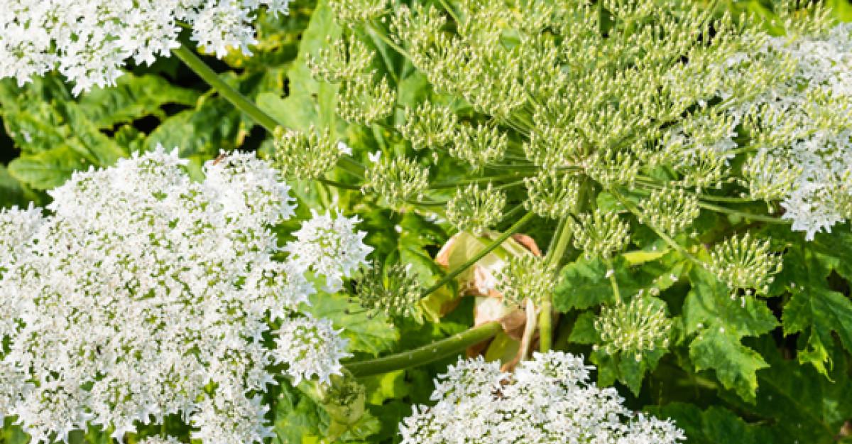 Branca Ursului sau Planta Dragostei - un miracol medicinal