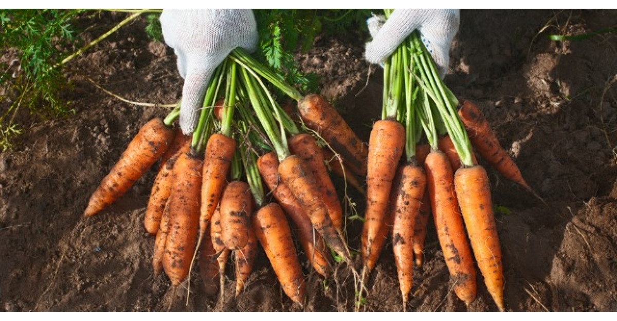 Beneficiile morcovilor. Cum trebuie sa-i mananci ca sa vindeci mai multe boli