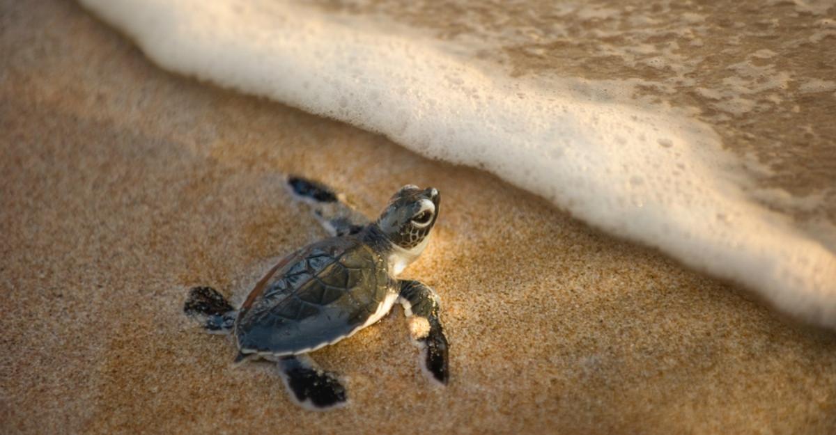 Țestoasele marine au revenit pentru prima dată în 20 de ani pe o plajă din India, după ce a fost curățată