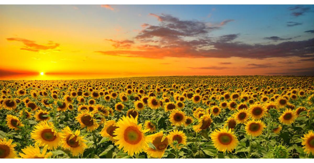 Floarea-Soarelui. Beneficiile INCREDIBILE ale acestei plante