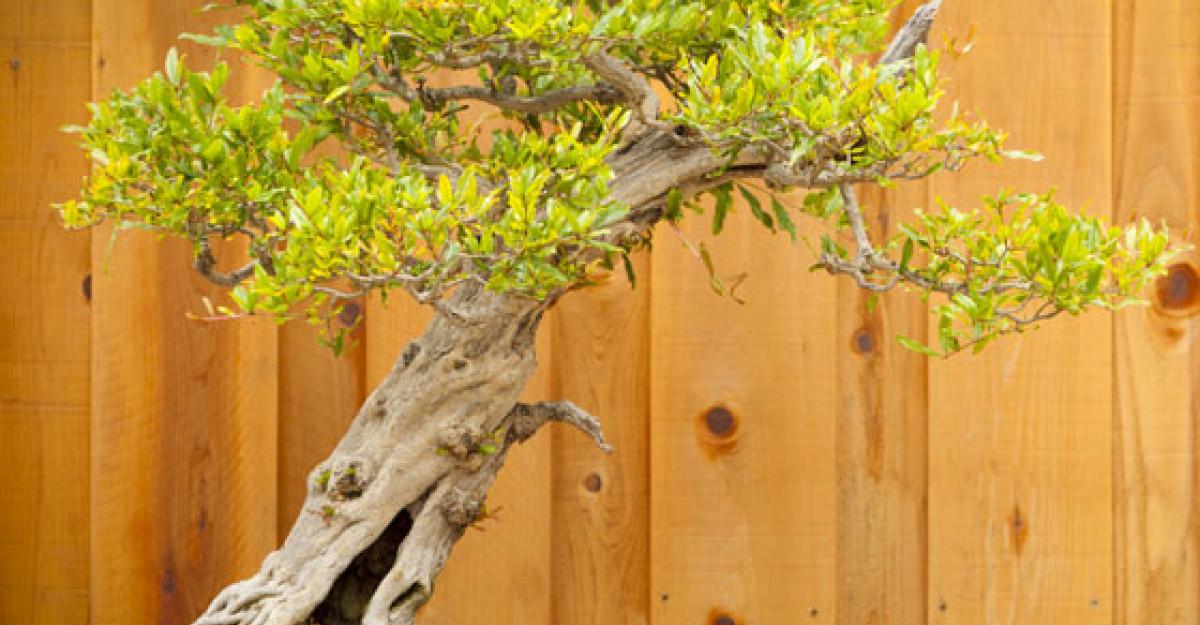 Bonsai: arta de a creste arbori in miniatura