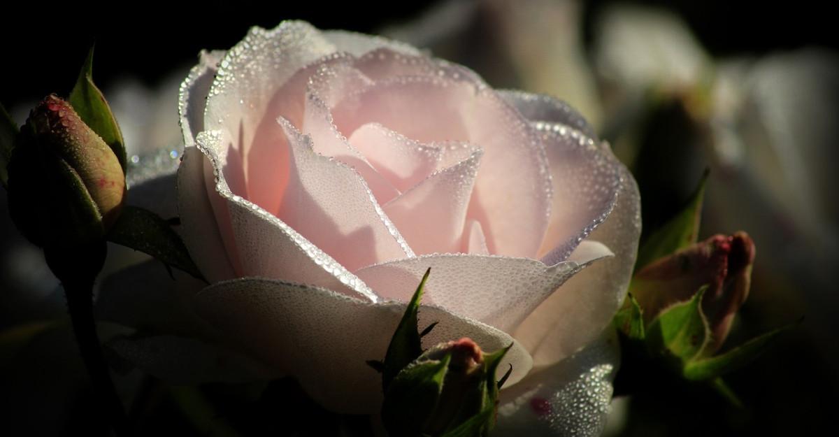 Apa de trandafiri: 8 beneficii pentru piele, păr și corp