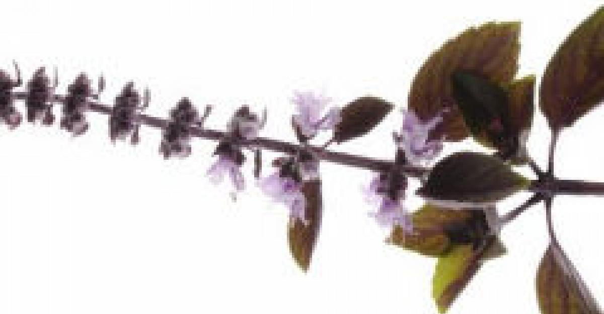 Sanatatea cu Busuioc - Planta aromata a Dragostei
